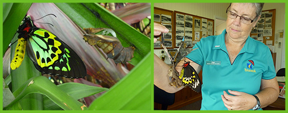 Many visitors have been lucky enough to be around when a butterfly has hatched.  This one hatched in our centre after we rescued the chrysalis from a fallen leaf.  It's a female Cairns birdwing